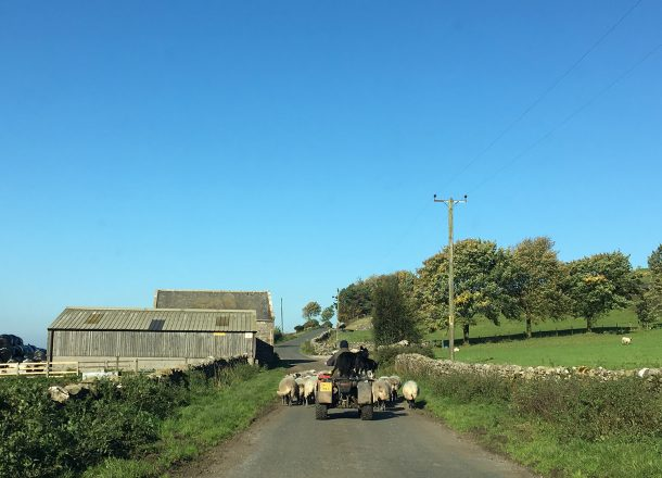 Sheep being herded along road by quad bike