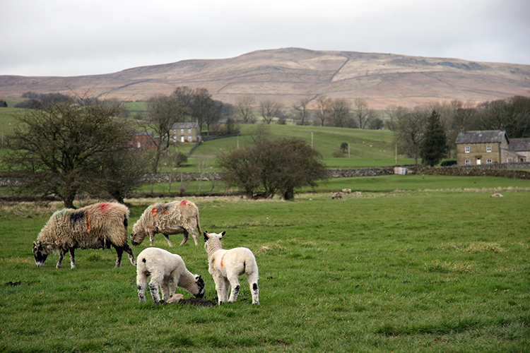 blog sheep dales