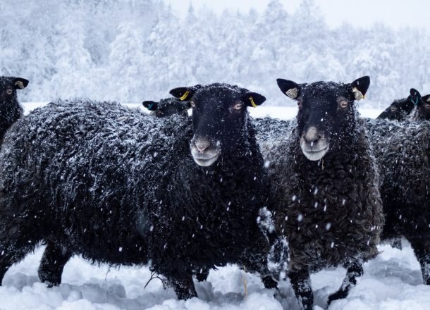 Black sheep in snow