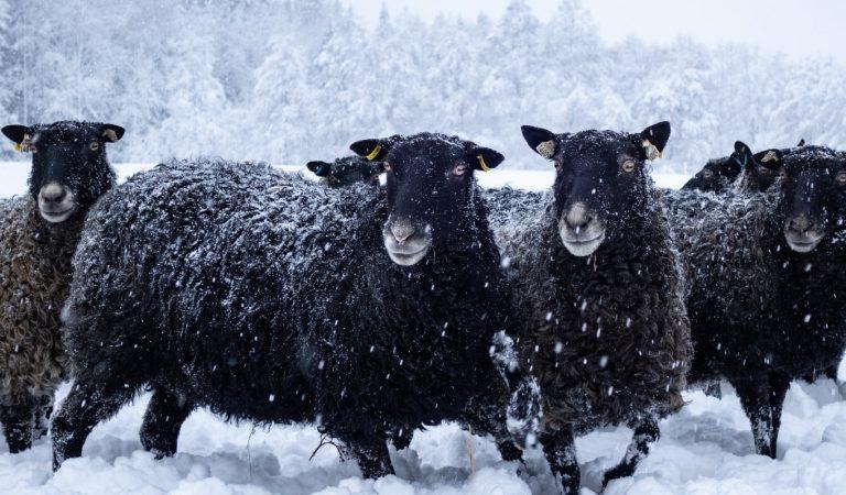 Black sheep in snow