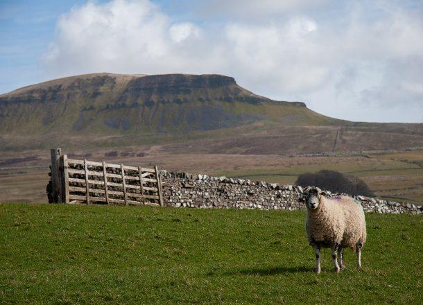 blog peaks sheep