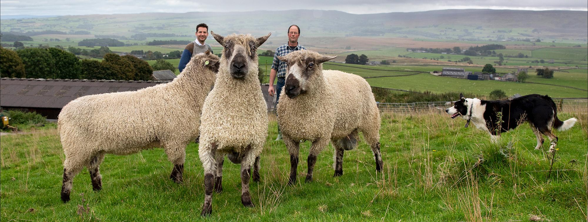 Teeswater sheep and Ed Sexton and John Dawson